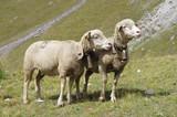 Deux moutons dans les Alpages en France - 221811901