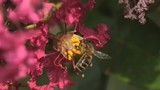 Honey Bee Gathering Pollen on Pink Flowers, Slow Motion - 221822353