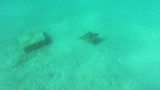 A batoidea, also know as ray fish, in a Mediterranean sea, underwater action camera footage - 221823114