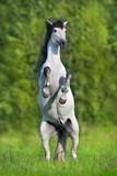 White spanish horse rearing up in green summer landscape.Pura Raza Espanola - 221827758