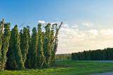 Hop field in Zatec hop area before sunset - 221828910