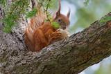 squirrel eating mushroom on branch of pine tree - 221829176