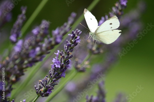 A Cabbage White Butterfly feeds blooming lavender stalks in my herb garden on a summer day.        - 221833950
