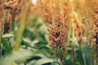 Sorghum, flowering plant grown for grains