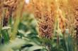 Sorghum, flowering plant grown for grains - 221840327