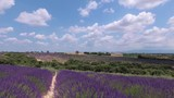 Walking with a video camera through the fields with flowering lavender. Provence. France. Slow motion. - 221840360