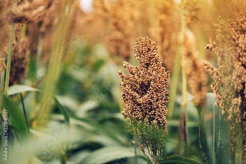 Sorghum, flowering plant grown for grains