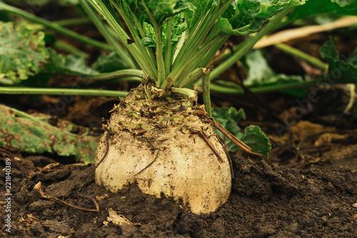 Foto Murales Organic sugar beet