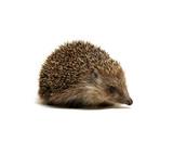 Hedgehog  isolated on white - 221840721