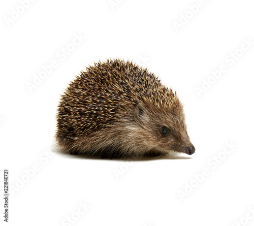 Leinwandbild Motiv Hedgehog  isolated on white