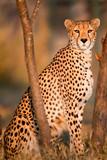 Cheetah at Sunset - 221848511