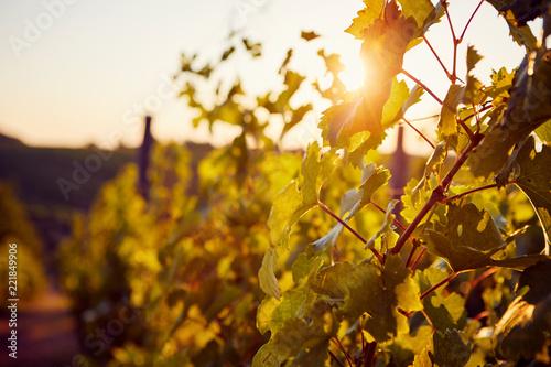 Foto Murales The sun shining through the vineyard
