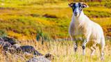 Single sheep in a field near Balmore, Scotland - 221852945