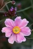 japanese anemone in pink macro - 221860309