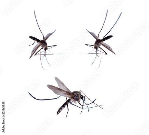 mosquitoes isolated on white background - 221863389