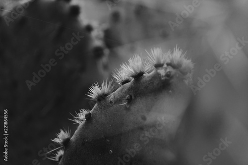 Black and white cactus closeup shows glochids on prickly pear in nature.