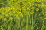 Dill flower. Umbrella flower of a garden herb plant - 221867376