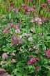 Pink Astrantia flowers in a flower bed