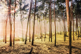 Forest area of Pine tree at the sea beach on the sand in the morning. India, Asia, February 2018. - 221868131