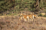 Deer, Red Deer - 221868503