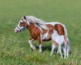 American Miniature Horse. Skewbald mare and foal in meadow. - 221870730