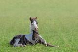 American Miniature Horse. Skewbald foal lying on grass. - 221870978