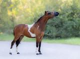 Full body portrait of skewbald Miniature Horse. - 221870993