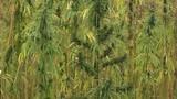 Hemp or industrial hemp is variety of Cannabis sativa plant - 221871550