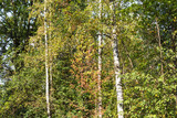green and yellow foliage of birch grove in autumn - 221871907