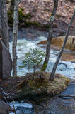 Evergreen sapling along the cascade - 221877302