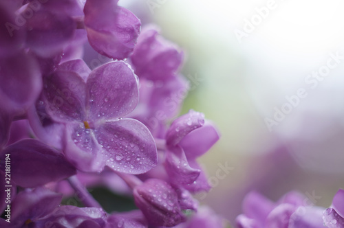 785ac8d4146 Floral border with beautiful purple lilac blooming in the sunny day.  Romantic banner with flowers