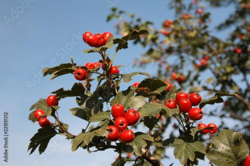 Gałąź głogu z czerwonymi owocami na tle błękitnego nieba