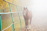 Alone horse walking in paddock in the early misty morning - 221881701