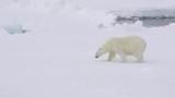 Polar bear walking in an arctic. - 221883131