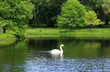 Leinwanddruck Bild - Beautiful summer and wildlife nature background. Landscape in green colors with beautiful white swan on a lake.