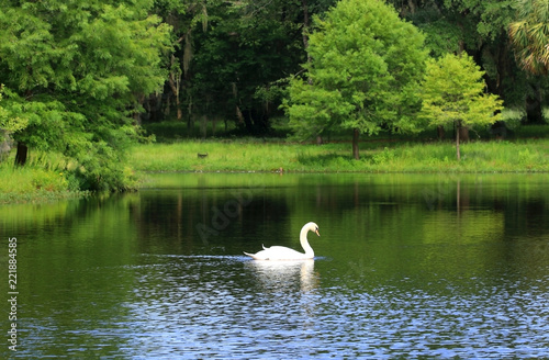 Leinwanddruck Bild Beautiful summer and wildlife nature background. Landscape in green colors with beautiful white swan on a lake.
