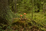 Two mushrooms with red cap near the pine tree in forest - 221886967