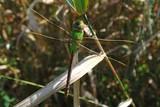 Common Green Darner Dragonfly - 221887102