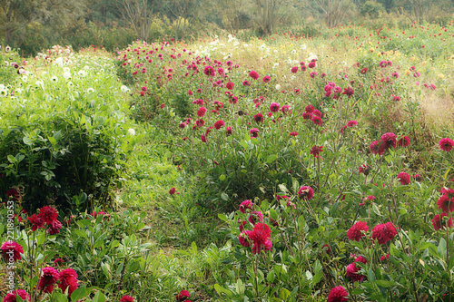 Colorful dahlias cultivation in summer field, soft focus, blurred background