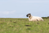 A sheep sitting down in a field bleeting - 221893319