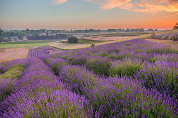 Blooming lavender fields in Poland, colorful sunrise