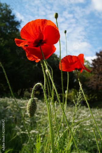 Fototapeta Intensive red poppy flowers on sunny meadow