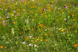 Summer meadow of multitude flowers. Variety of colorful rural wild flowers in grass. Blossom in countryside garden. Field of flowers. Idyll garden. - 221908560