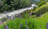 Spring flower looking down on the South Yuba river in California - 221916338