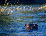 Hippo swimming - 221927596