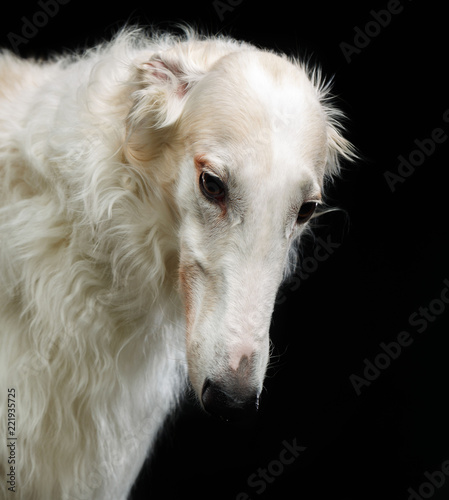 Russian borzoi, Russian hound greyhound Dog Isolated on Black Background in studio - 221935725