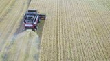 Aerial view of modern combine harvesting wheat on the field. Flying directly above combine. Top view. Agriculture scene - 221936327