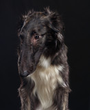 Russian borzoi, Russian hound greyhound Dog Isolated on Black Background in studio - 221937145