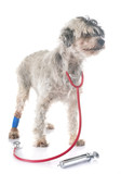 old tibetan terrier - 221939541