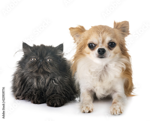 persian kitten and chuihuahua